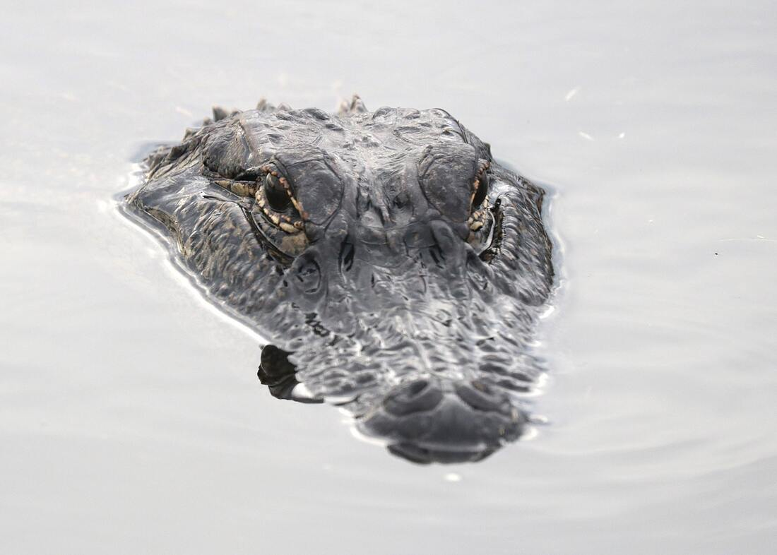 Pet alligator helps trapper's family reveal 10th baby's gender (Video)
