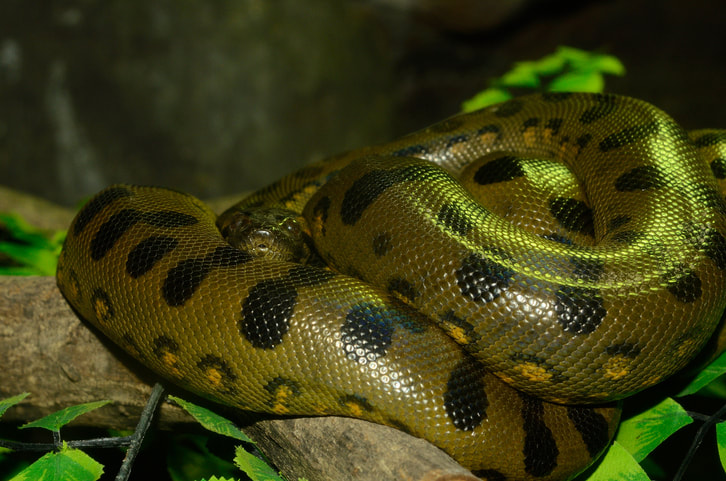 Florida Crackdown On Anacondas Spurs Legal Fight
